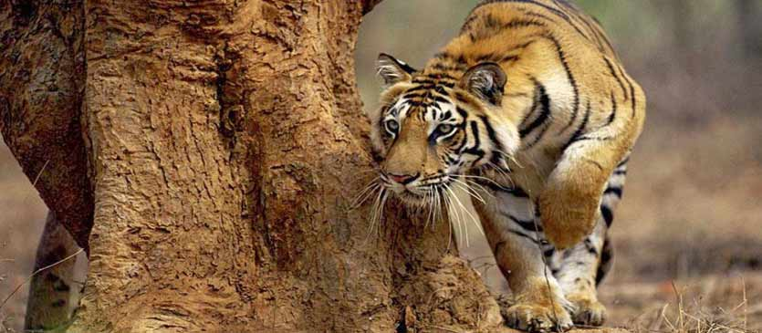 Bandhavgarh - Tiger′s Delight