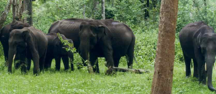 Kanha Elephants
